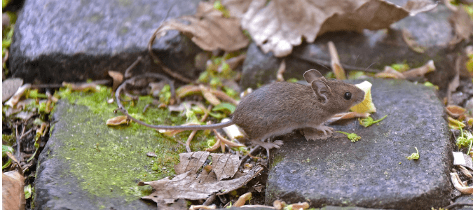 a house mouse running along a stone pathway