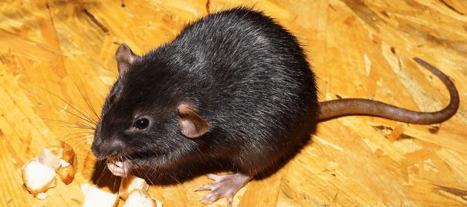 a rat eating food