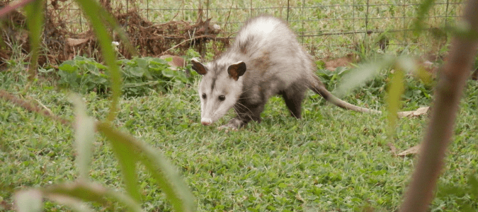 a possum in someone's backyard
