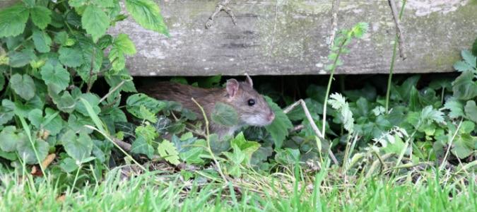 a rat in a garden