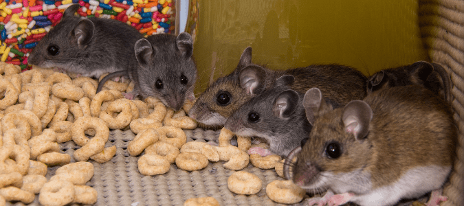 house mice eating cereal