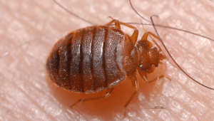 a bed bug crawling on someone