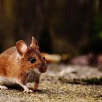 un ratón casero corriendo por un camino