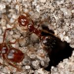dos hormigas rojas saliendo de un nido
