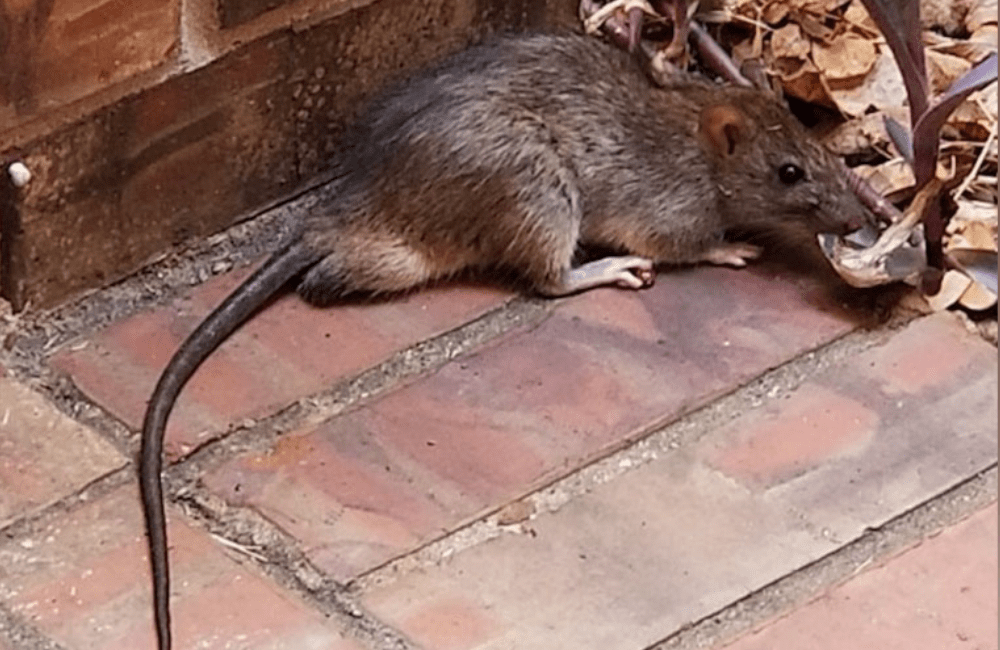 a rat that has been chewing through car wires