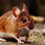 un ratón casero