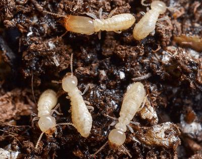 subterranean termites tunneling through soil