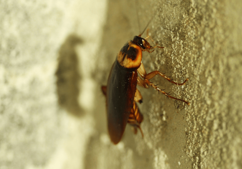an American cockroach crawling up a wall