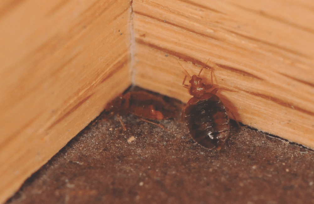 a bed bug on a baseboard